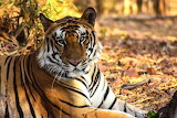 Tiger endangered 3,890 tigers remain in wild