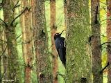 Dzięcioł czarny (Dryocopus martius-foto-  Mirek Gleb