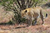 Big Cats Leopards Animals