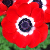 Anemone 'His Excellency'