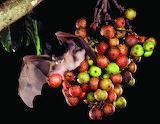 Murciélago frugívoro