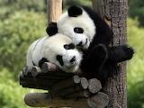 Cute-baby-panda-animal