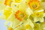 ^ Macro daffodils