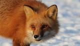 Eyes of the Fox Toledo Ohio USA