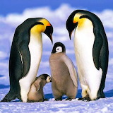 Emperor Penguin Family...