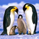 Emperor Penguin Family...