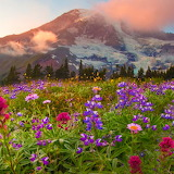 Mountain Lupines...