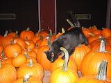 Pumpkins & Cat