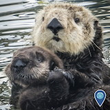 "Science tumblr noaasanctuaries ""Sea Otters"""