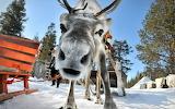 Funny-reindeer-face