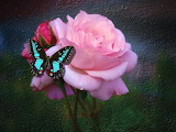 Butterfly on a Rose.....................x