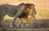 Male African Lion and Cub in Kgalagadi Transfrontier Park i sout