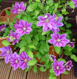 Flowers - my Clematis