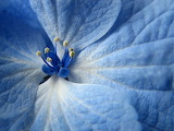 Blue-flowers-images-and-wallpapers-5