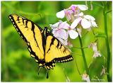Eastern Tiger Swallowtail butterfly on wild flox