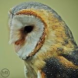 puszczyk - foto -Mirek Gleb
