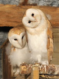 Barn owls - almost ready to fledge