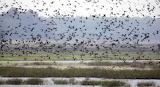 Flock of Flocks in Arkansas