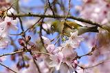 Waxeye on Cherry Blossom