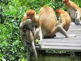 Borneo,proboscis monkey,Labuk Bay