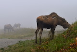 Misty Munching Moose