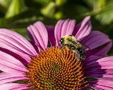 Carpenter bee and coneflower
