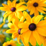 🌼Yellow Black Eyed Susan...