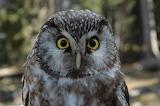 Mussol - Little Owl