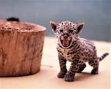 #Cute Baby Jaguar