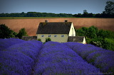 ^ Lavender, Cotswolds, England