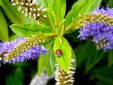 Ladybird on Hebes