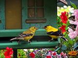 American Goldfinch PAD version