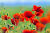 ❤️Red Poppies to Hope for a Peaceful World...