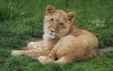 Big cats Lions Cubs Glance 563338 1280x810
