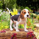 ☺Beagle Puppy ...