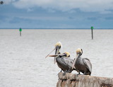 Brown Pelicans discussing the cold weather after the rain