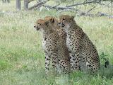CheetahThreeSiblings