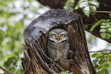 OWL IN A STUMP