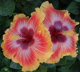 Hibiscus 'Hot Fun'