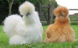 Silkie furry chicken