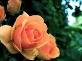Roses8-600x448
