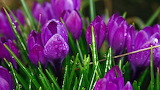Purple strange flowers-HD