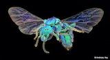 "Insects tumlbr flickr ""Sweat Bee"" ""Temnosoma sp., Halictidae"" ""©"