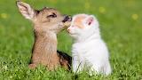 Cabirol i Gat - Deer and Cat