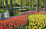 Flowers - Tulips - Holland