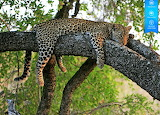 Jaguar in tree of the Amazon jungle of Ecuador by auricle99 from