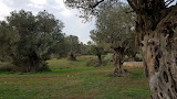 Nature, Olive trees