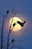 Eagles perching on a moonlit night