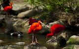 Red storks