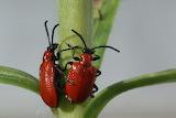 Scarlet Lily Beetle CC0